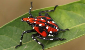 Spotted Lantern Fly Forces Quarantine in Three NJ Counties
